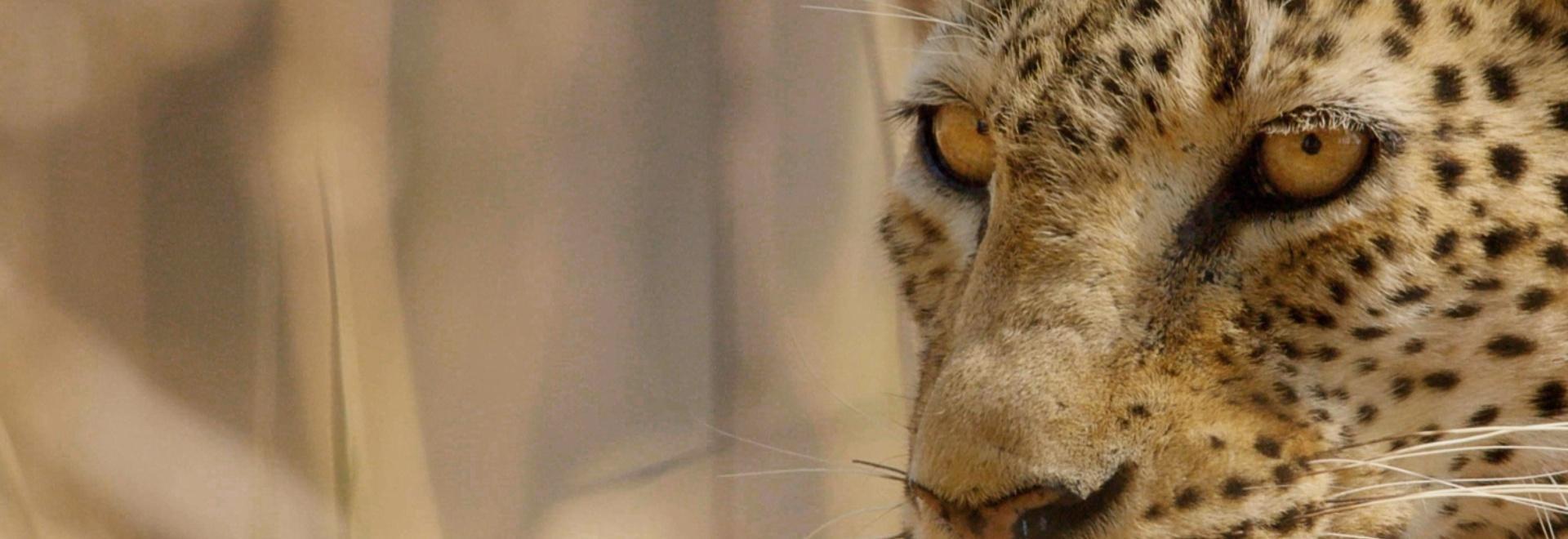 La carestia del leopardo