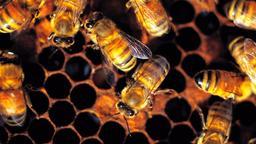 Le api killer