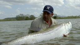 Pesce Tarpone: predatore gigantesco