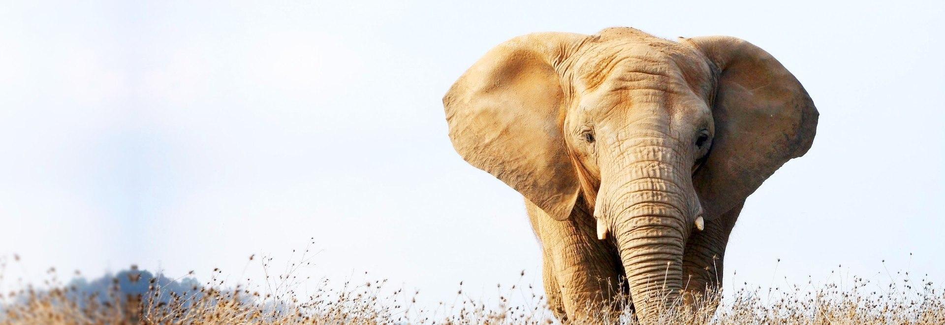 Elefanti - Una specie da salvare