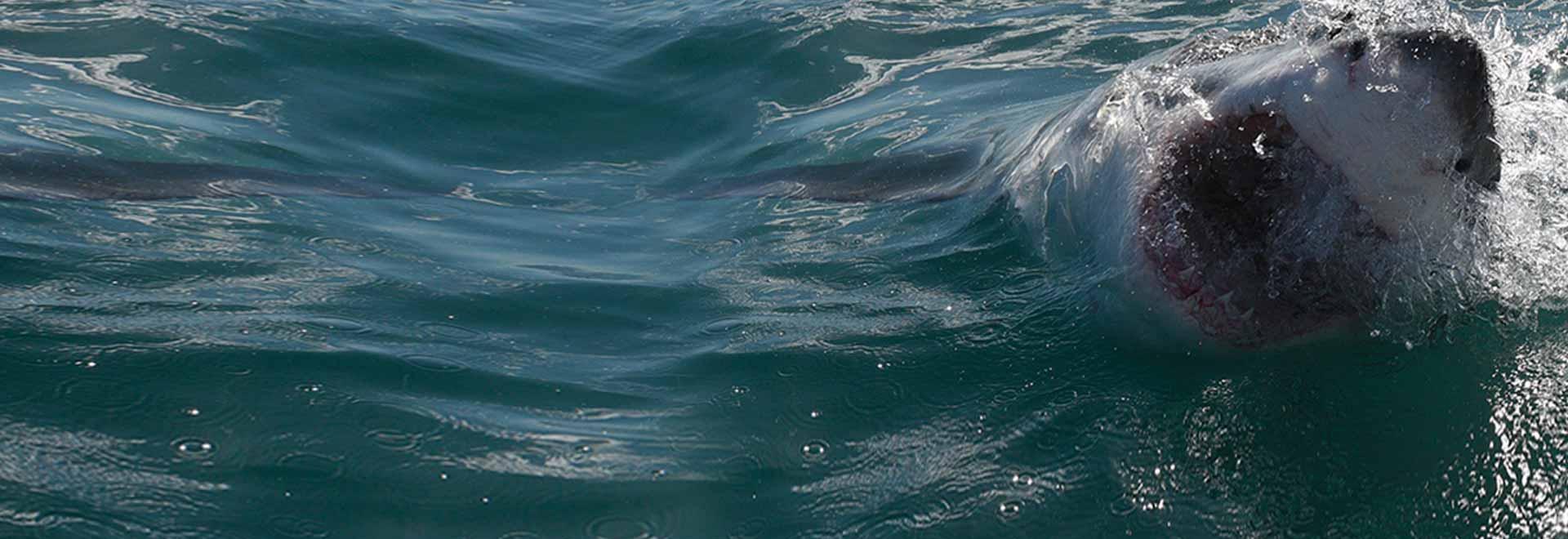 Il regno del grande squalo bianco
