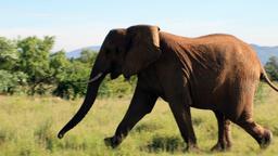 L'attacco degli elefanti