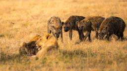 Strategie da leoni