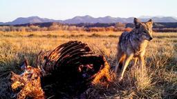 Ucciso da un coyote