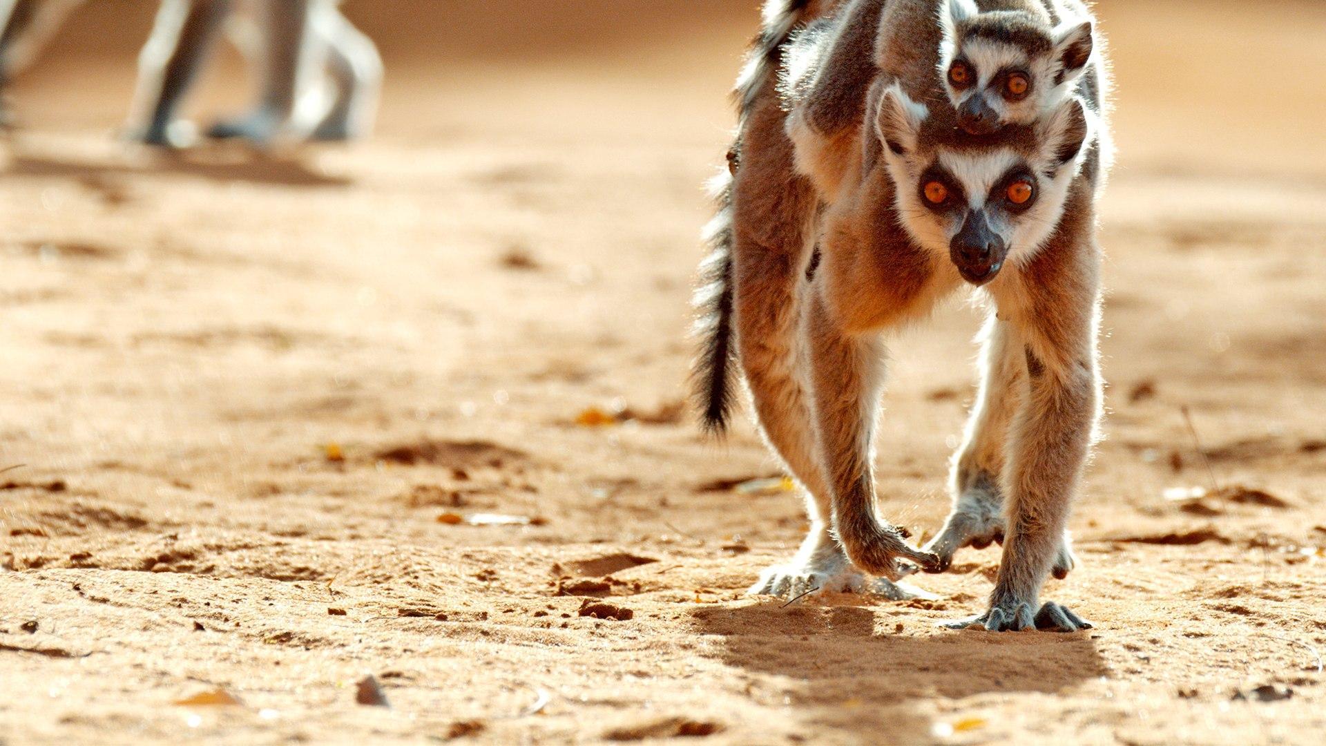 Sky Nature HD Le bande dell'isola dei lemuri