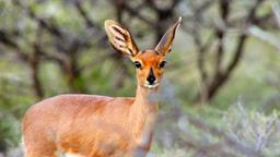 Antilopi saltanti e impala: vivere in branco