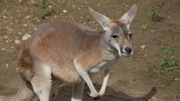 Fergus il canguro