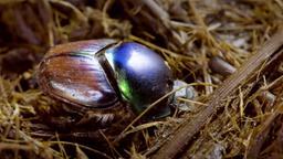 Gli scarabei stercorari: riciclanti naturali