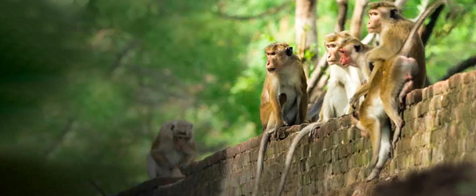 La vita segreta del Macaco dal Berretto