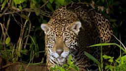Il regno dei giaguari
