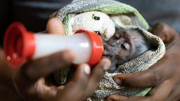 Follia scimmiesca