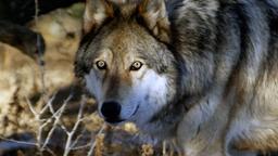 Uomini e lupi