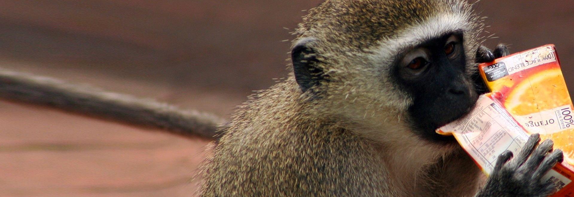 Scimmie: animali da salvare
