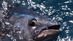 Extreme Tuna Spinning