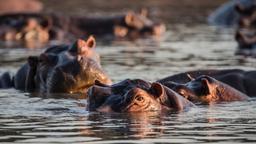 Pesi pesanti dell'ippopotamo