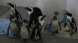 Berry il pinguino