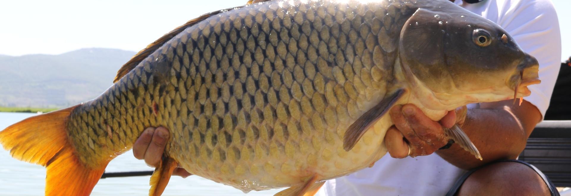 Tecniche di pesca in superficie alla carpa