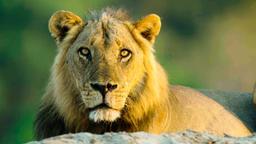 Un leone adulto