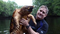 La Tartaruga alligatore
