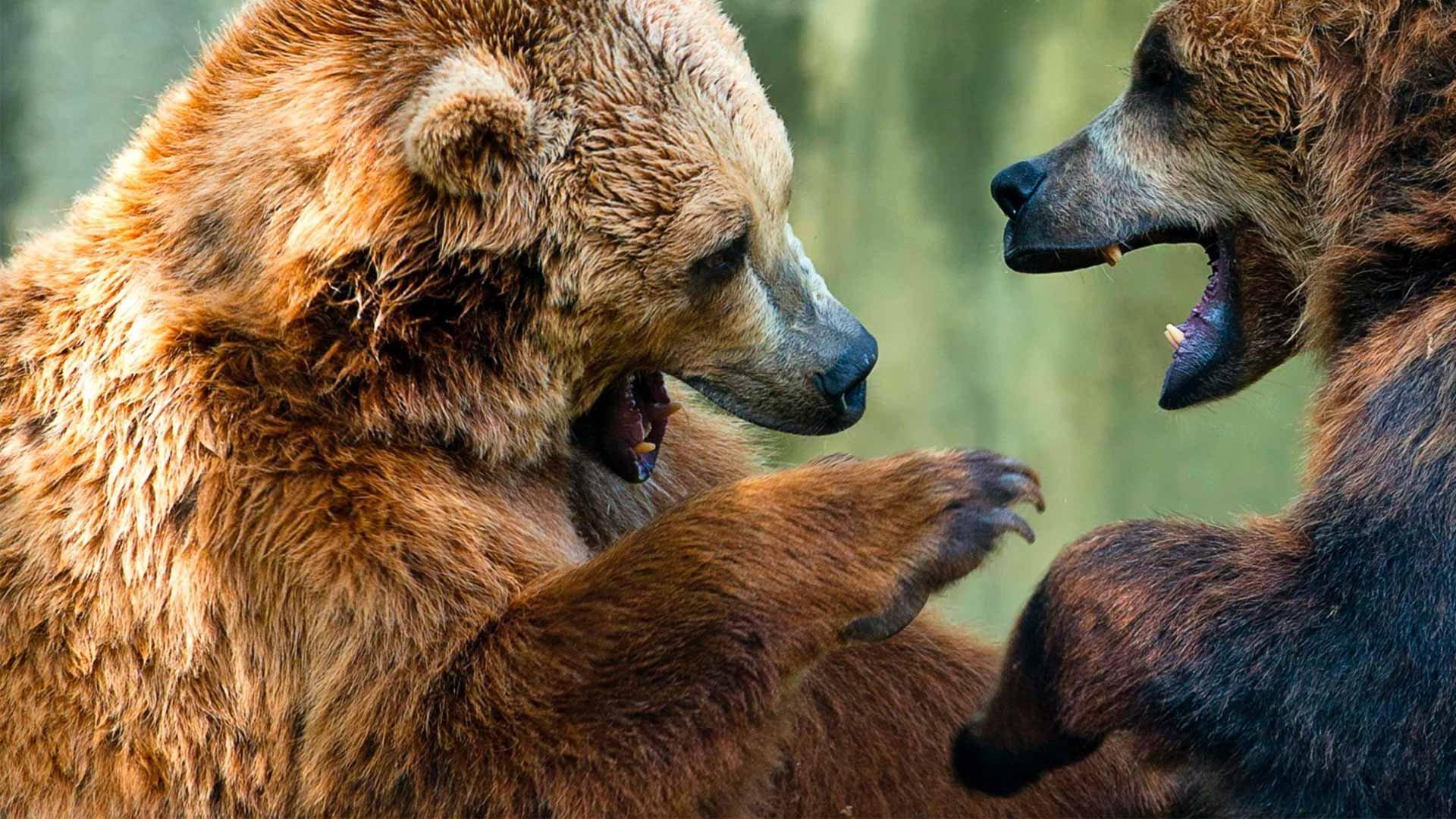 NatGeo Wild HD Animal Fight Club: senza regole