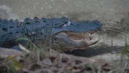 Analisi per l'alligatore