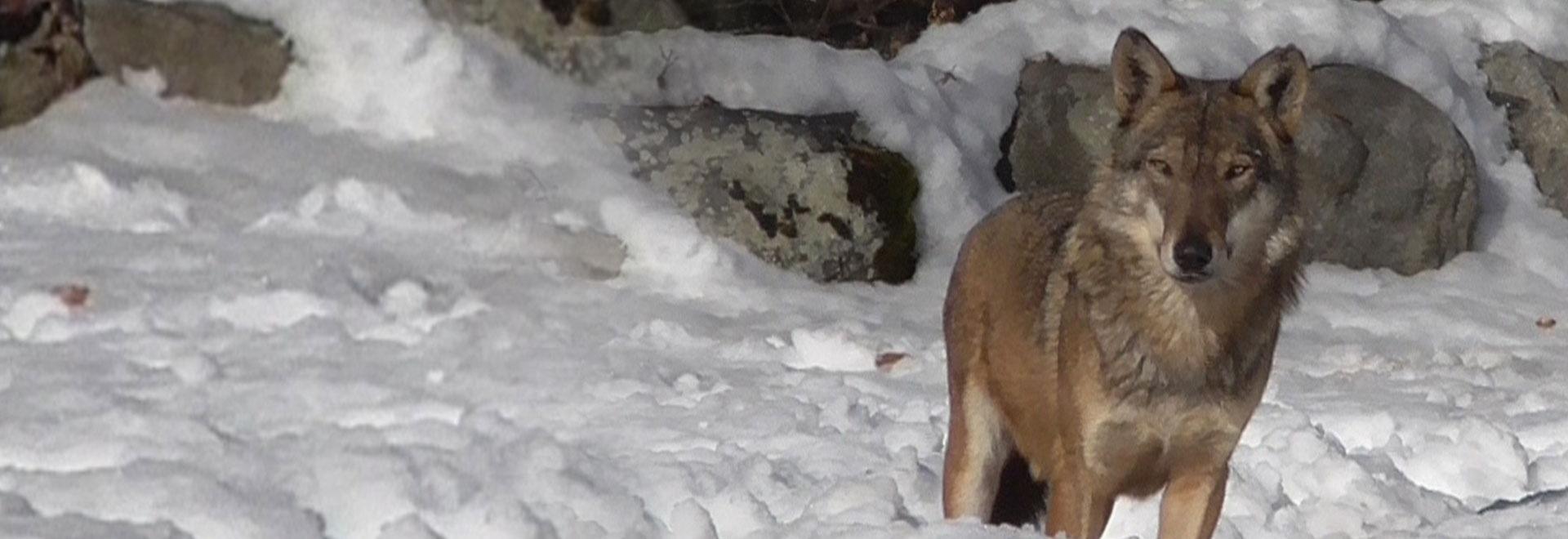 Uomini e lupi sulle Alpi in 10 domande