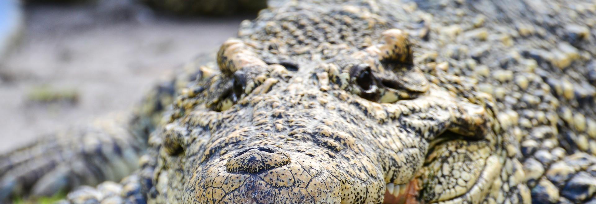 Nella tana del coccodrillo