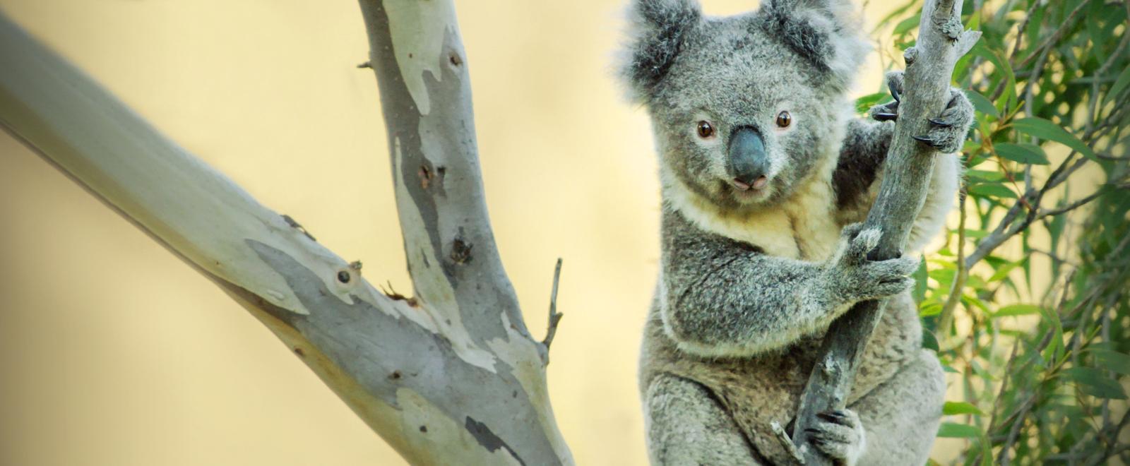 La vita segreta dei koala