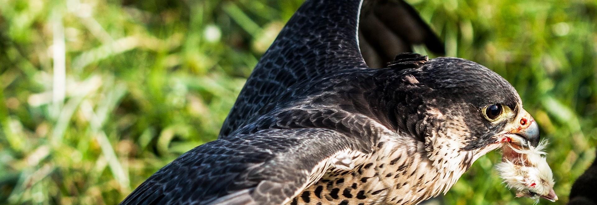 Storie di falconeria italiana