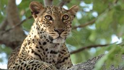 Il leopardo perduto