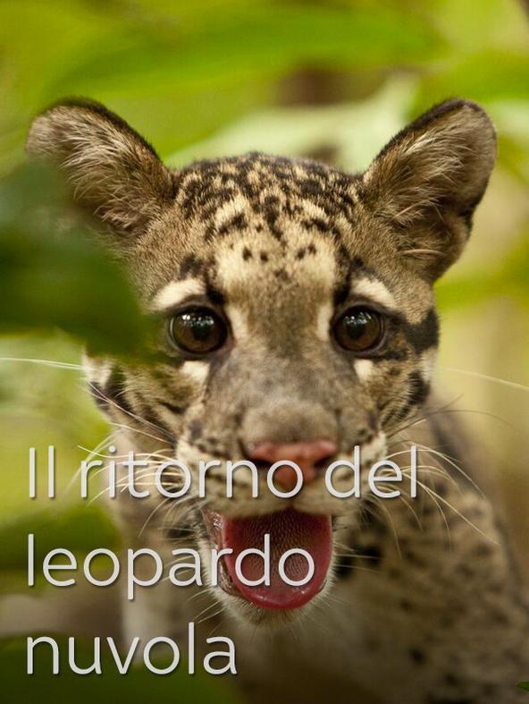 Il ritorno del leopardo nuvola