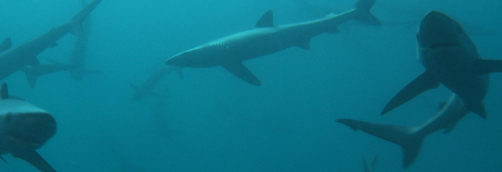 L'invasione del grande squalo bianco