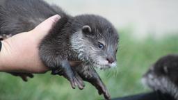 Le piccole lontre